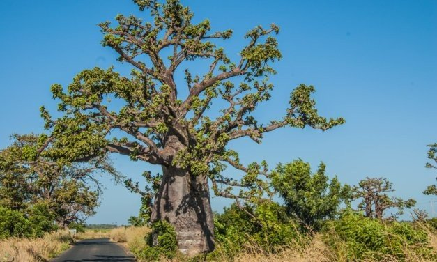 Baobab Tree – Tree of Life