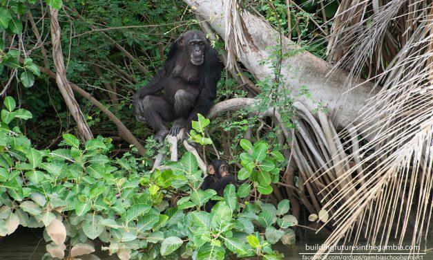 Chimp Rehabilitation Project