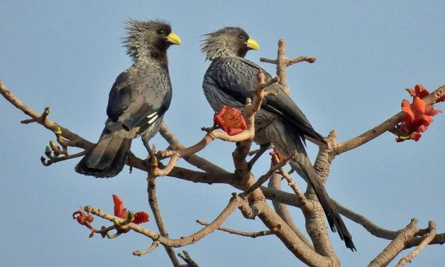 Bird Songs of The Gambia